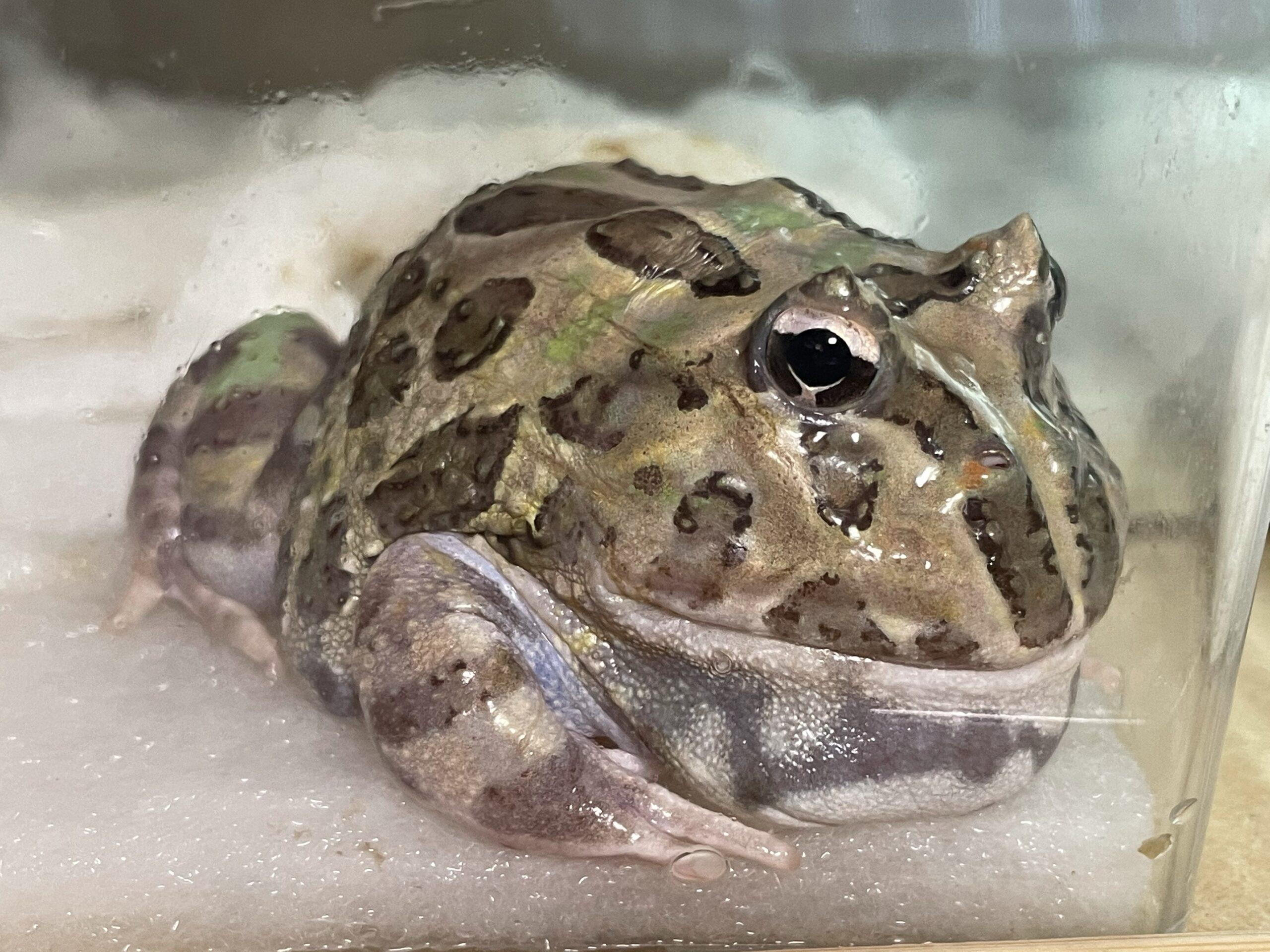 ペパーミントなはずのクランウェルツノガエルが、どんどん謎の色になっている件