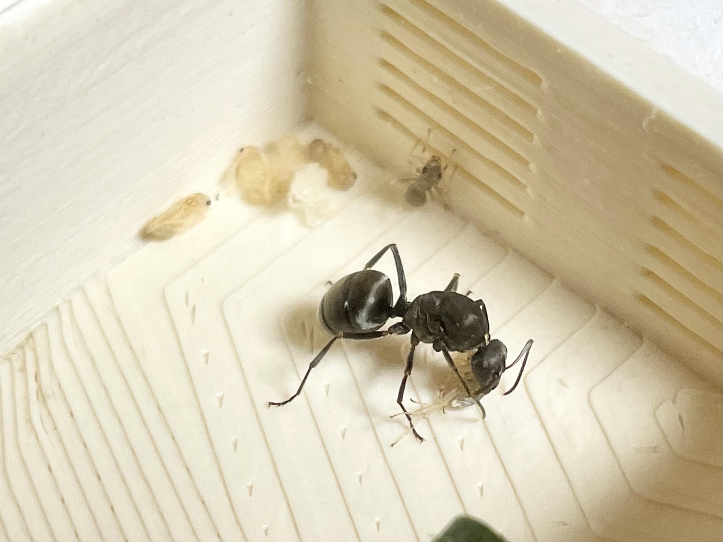 ついにクロヤマアリの働きアリが誕生した!